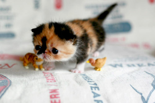 Memebon the World's Cutest Kitten