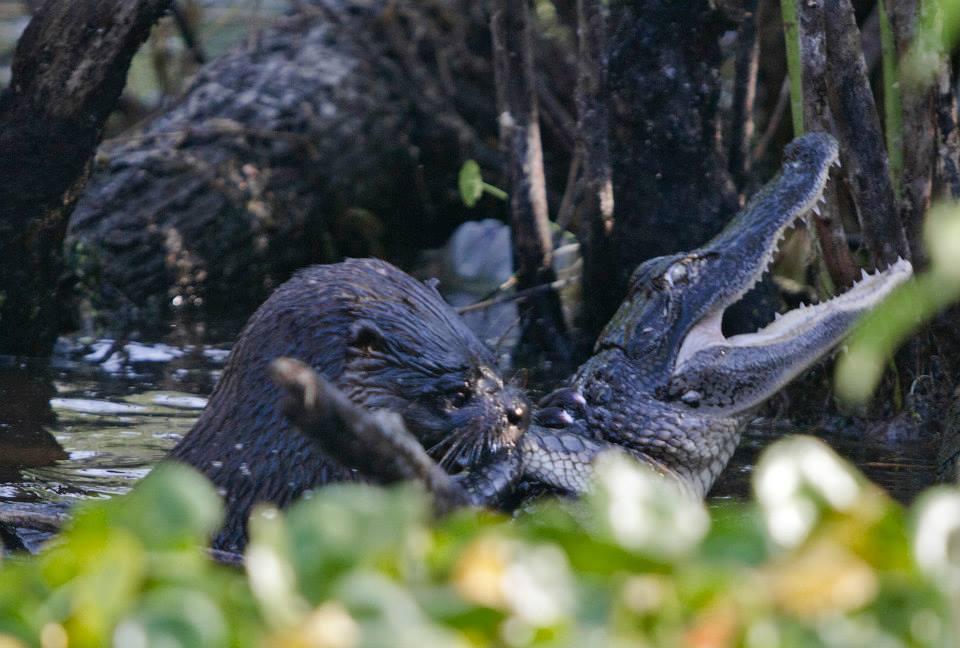otter-eats-alligator