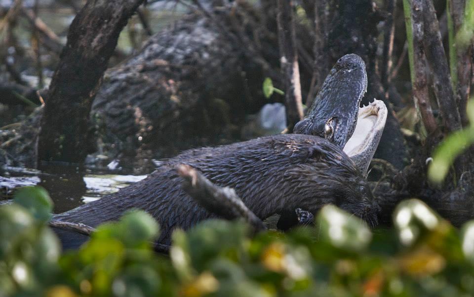 otter-eats-alligator3