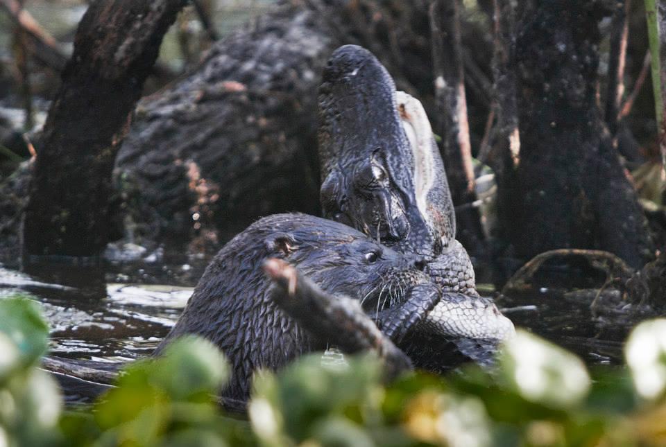 otter-eats-alligator4
