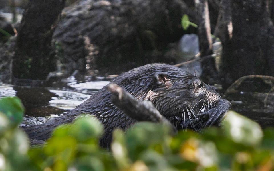 otter-eats-alligator5