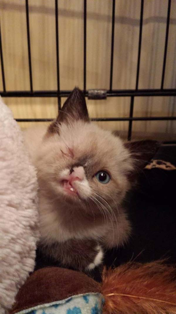 Sir Stuffington, The Cutest Pirate In The World Will Break Your Heart