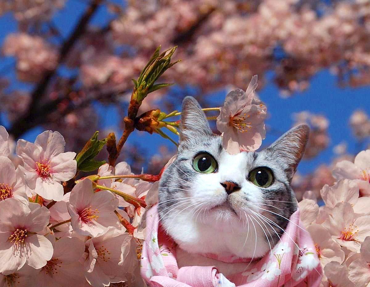 Cat Enjoying Cherry Blossoms (1)