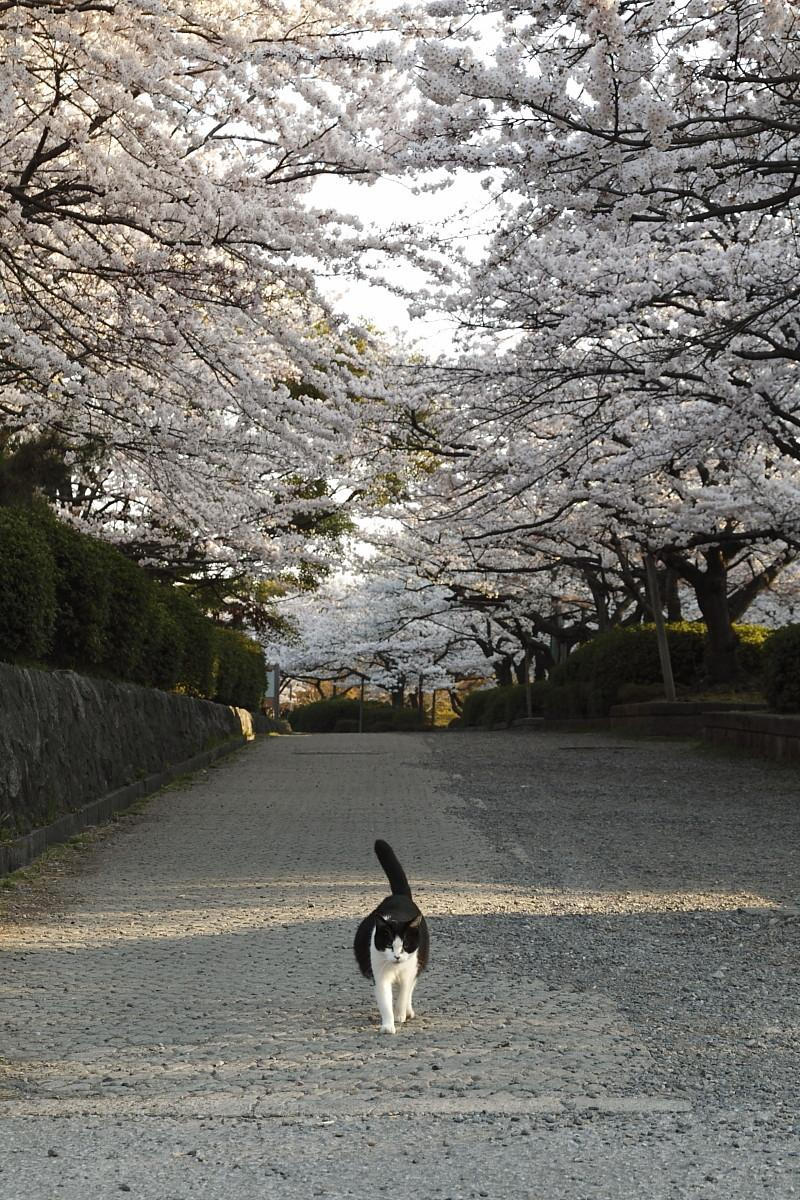 Cat Enjoying Cherry Blossoms (10)