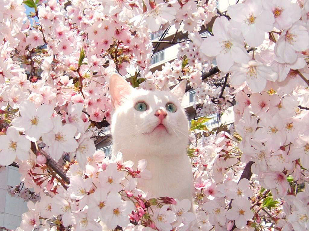 Cat Enjoying Cherry Blossoms (11)
