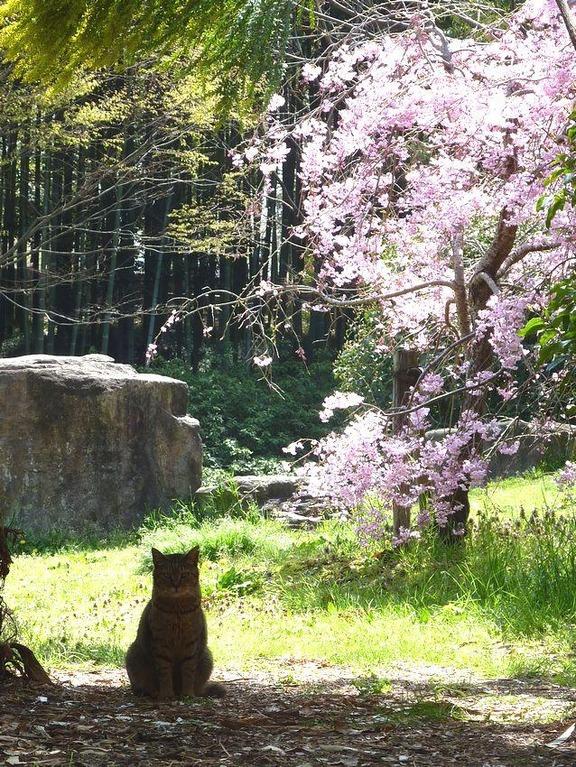 Cat Enjoying Cherry Blossoms (12)