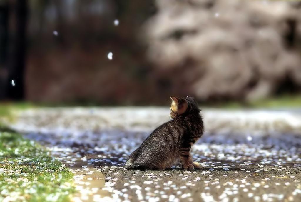 Cat Enjoying Cherry Blossoms (3)