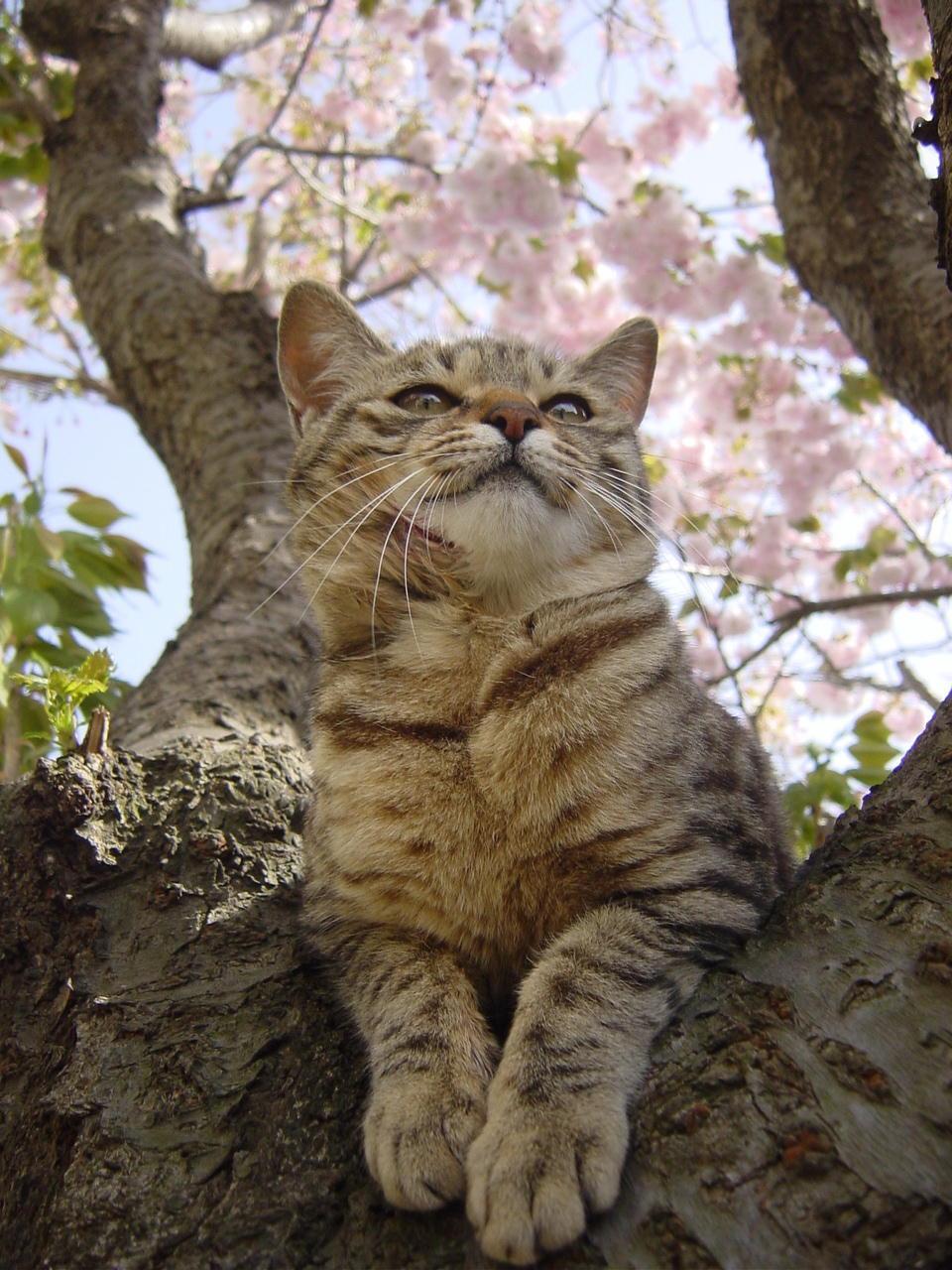 Cat Enjoying Cherry Blossoms (4)