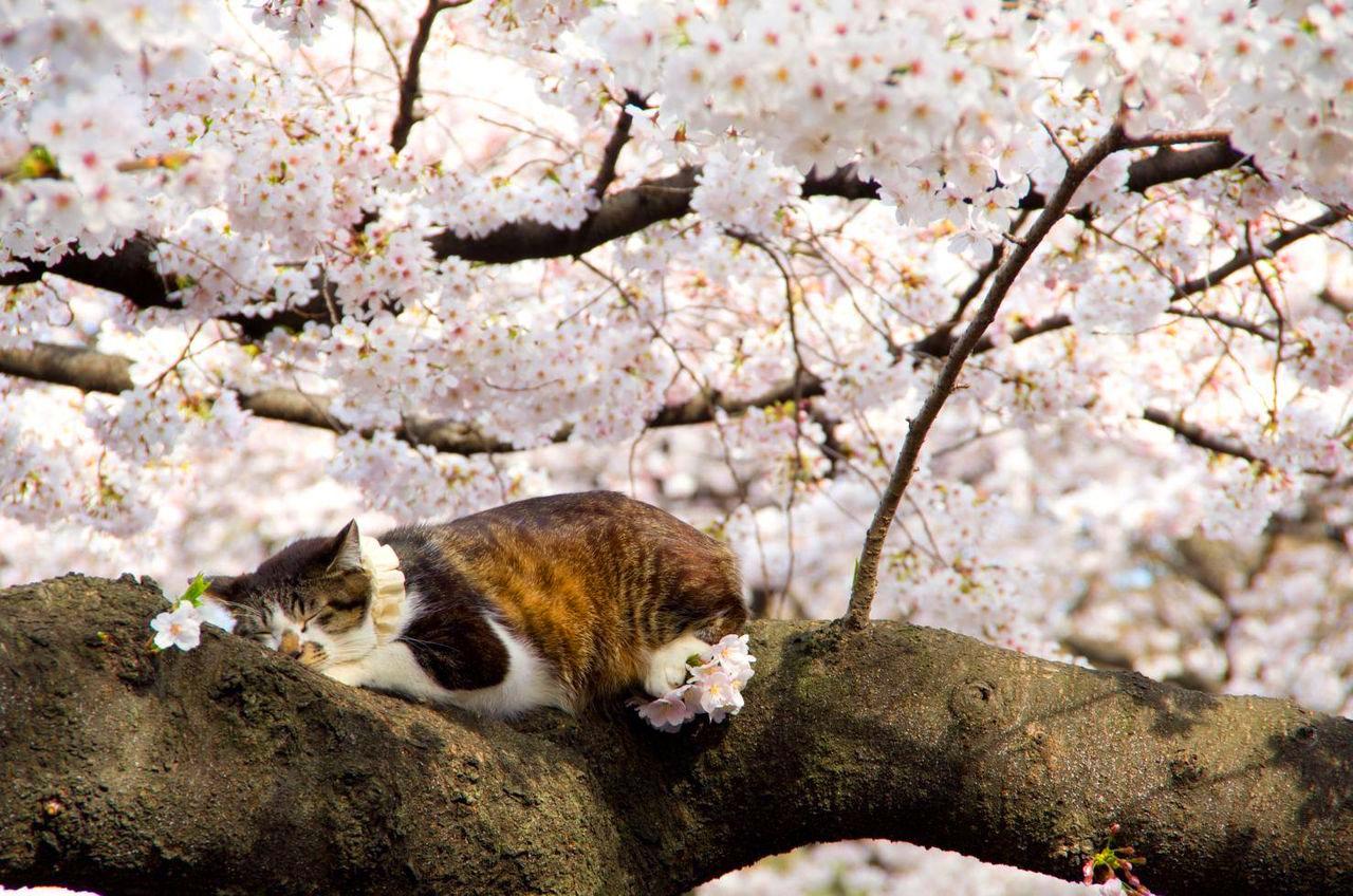 Cat Enjoying Cherry Blossoms (5)