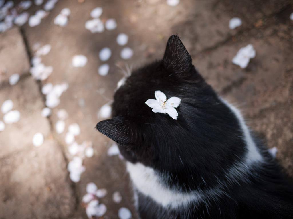 Cat Enjoying Cherry Blossoms (6)