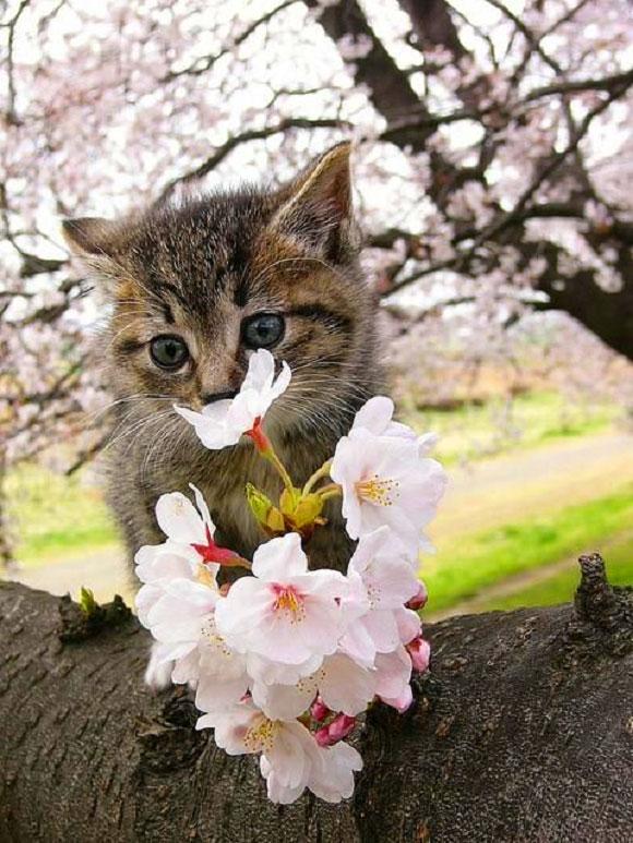 Cat Enjoying Cherry Blossoms (7)
