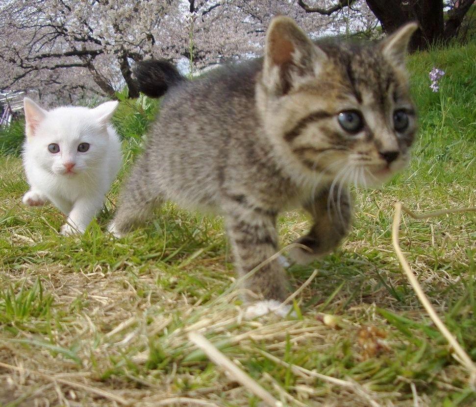 Cat Enjoying Cherry Blossoms (8)