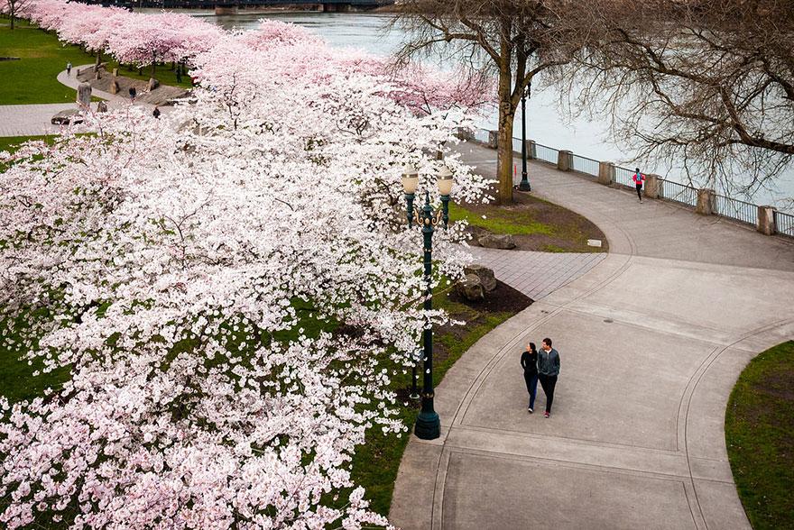 cherry-blossom-sakura-13