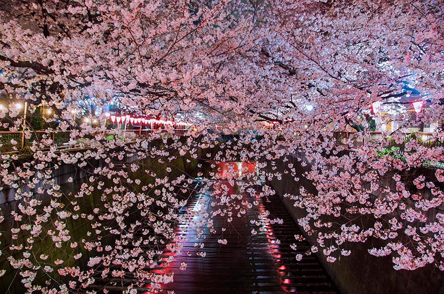 cherry-blossom-sakura-17