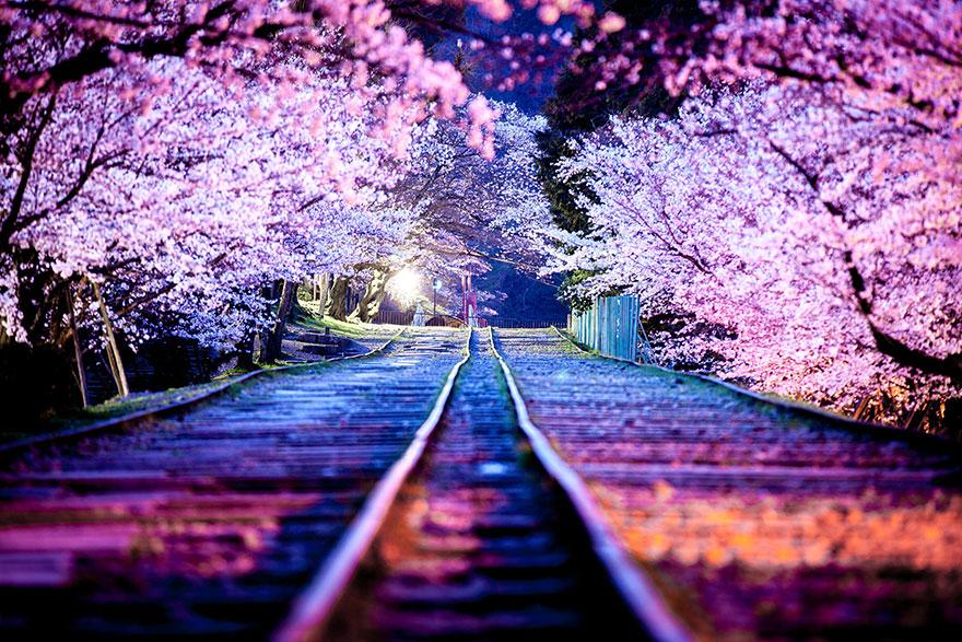 cherry-blossom-sakura-3