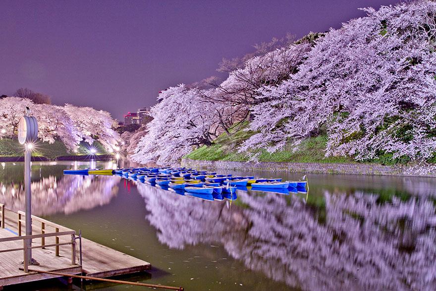 cherry-blossom-sakura-5