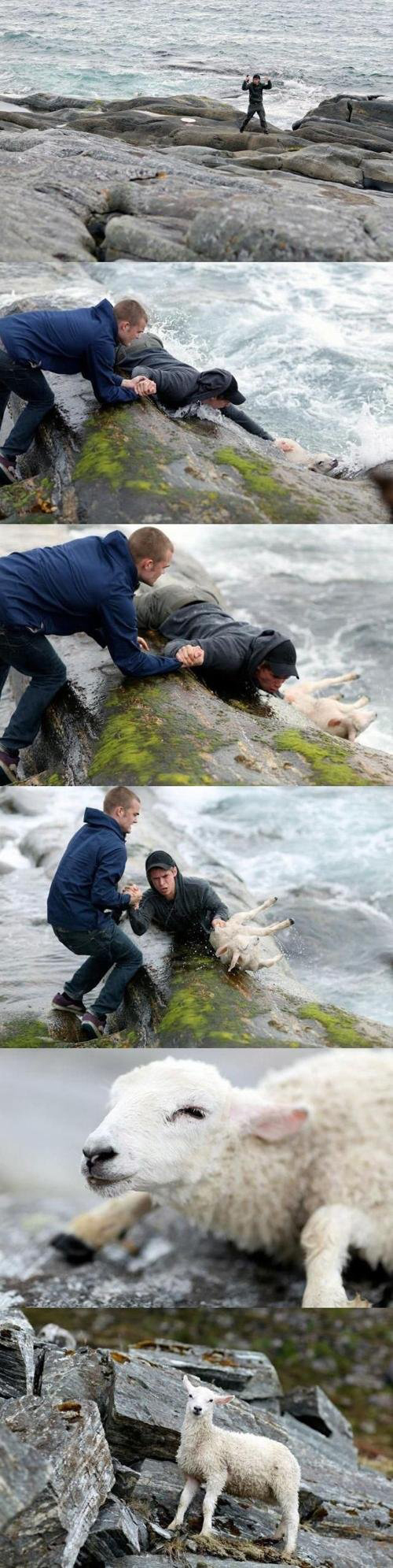 Two Norwegian guys rescuing a sheep from the ocean.