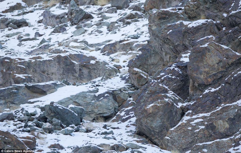 snow-leopard-3a