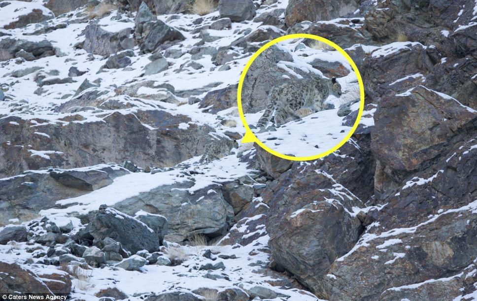 snow-leopard-3b