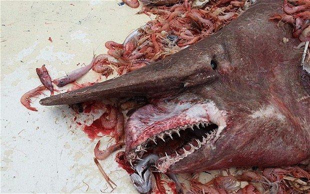 Goblin Shark Caught In Florida