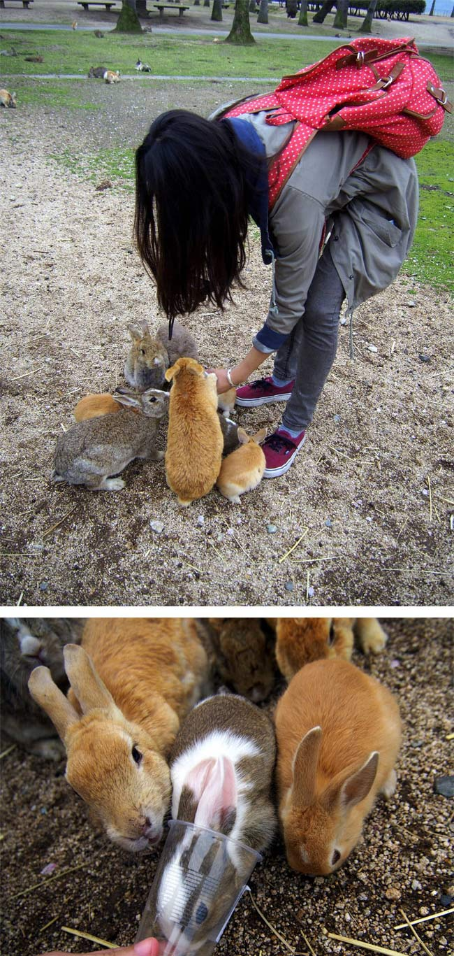 Rabbit Island, Okunoshima, Japan (4)