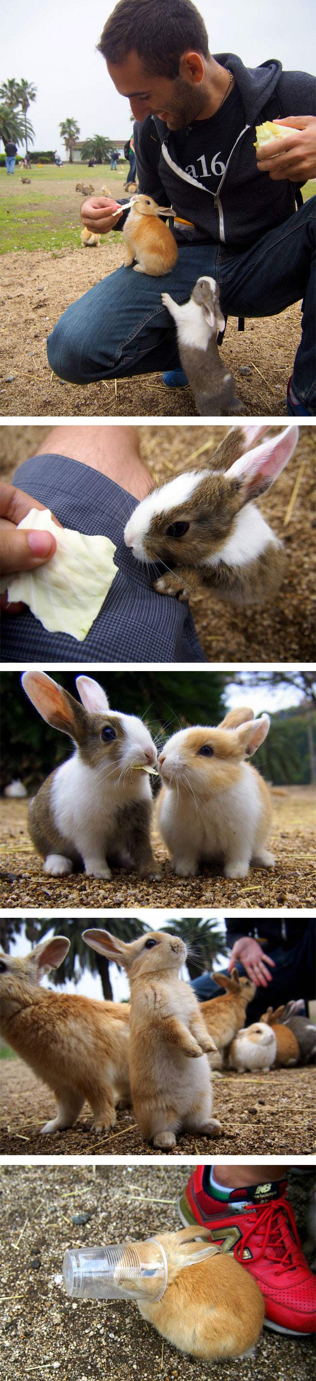 Rabbit Island, Okunoshima, Japan (5)