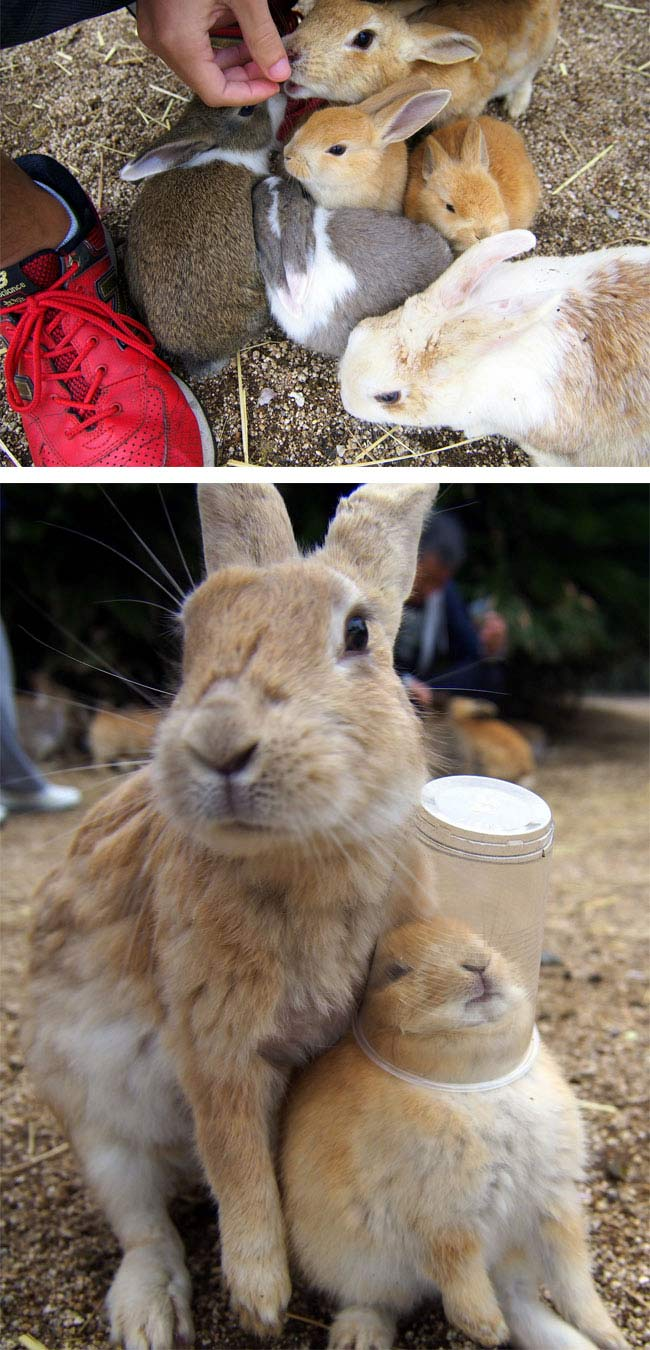 Rabbit Island, Okunoshima, Japan (6)