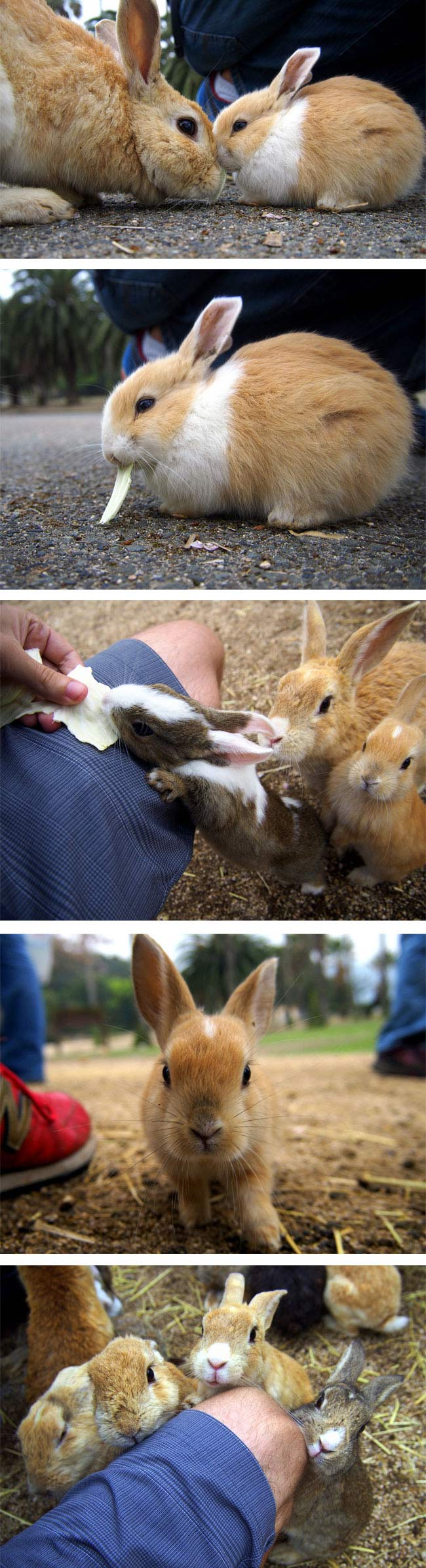 Rabbit Island, Okunoshima, Japan (8)