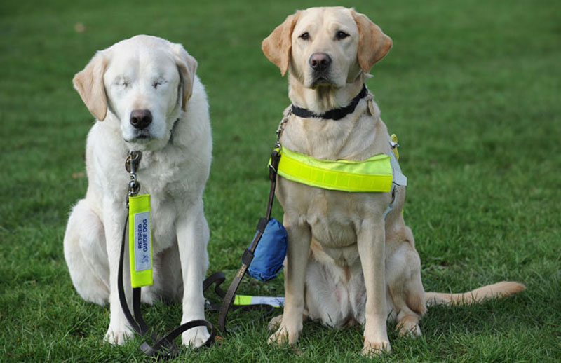 guide-dog-loses-sight-so-owner-gets-a-new-guide-dog-for-both-of-them-1