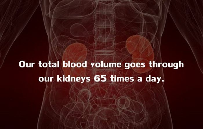 Human Body Fact (6)