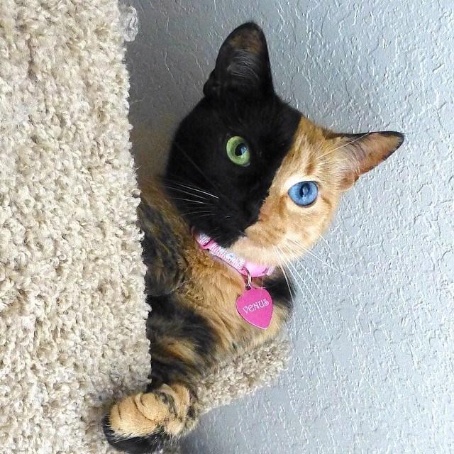 Venus The Chimera Cat (1)