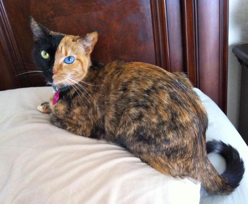 Venus The Chimera Cat (10)