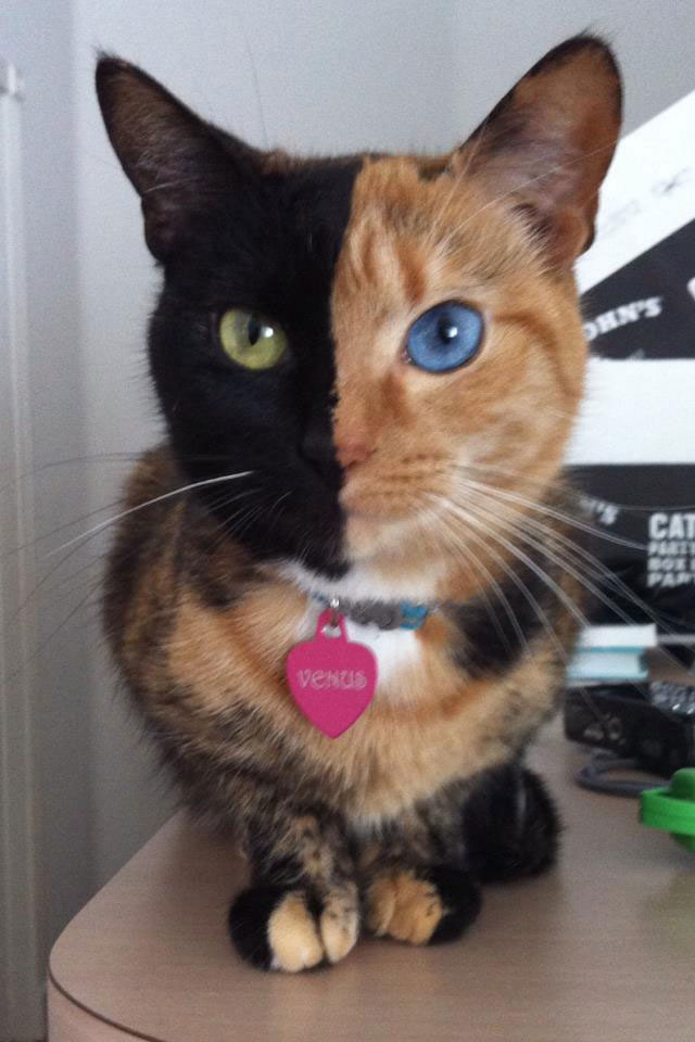 Venus The Chimera Cat (11)