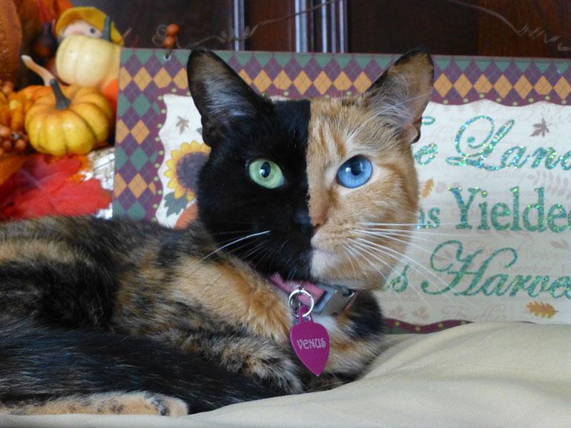 Venus The Chimera Cat (13)