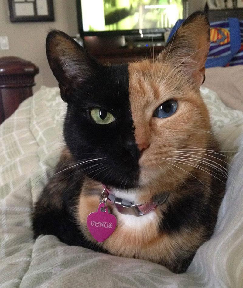 Venus The Chimera Cat (14)