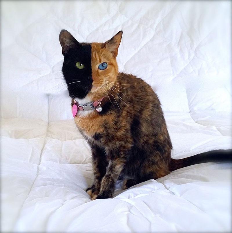 Venus The Chimera Cat (15)