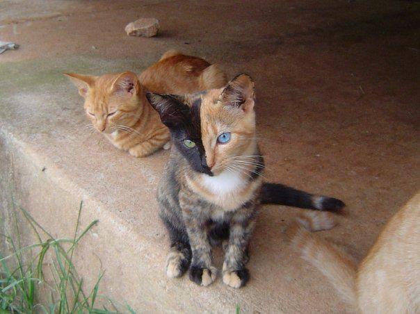 Venus The Chimera Cat (17)