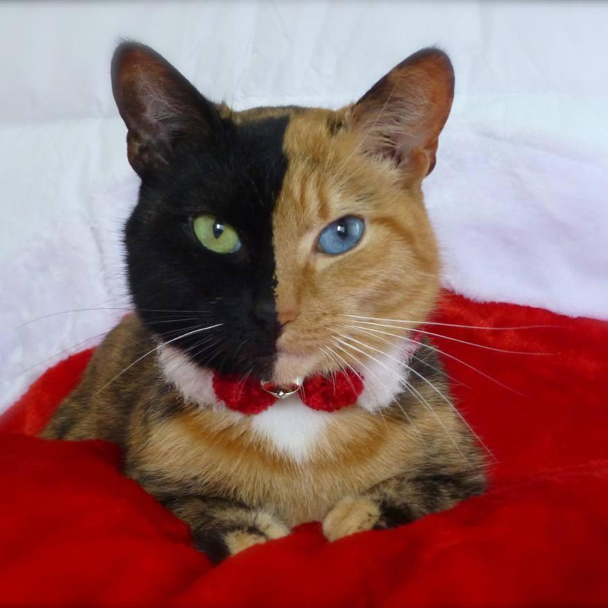 Venus The Chimera Cat (18)