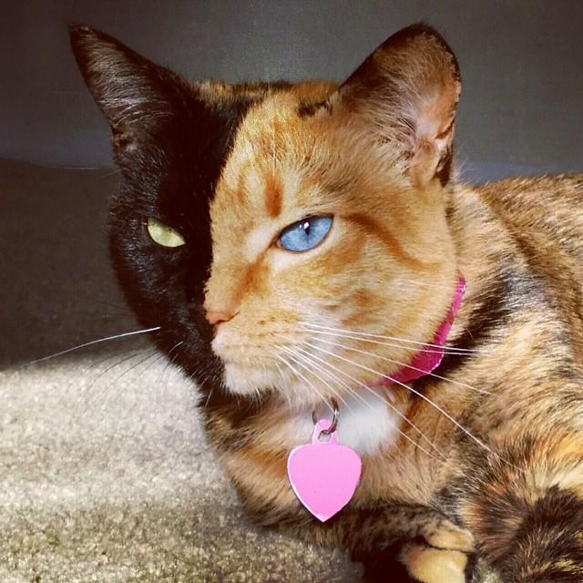Venus The Chimera Cat (2)