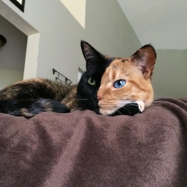 Venus The Chimera Cat (3)