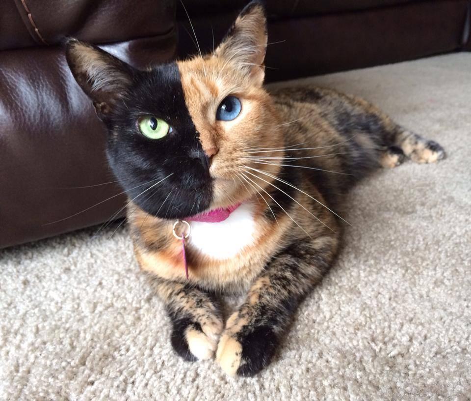 Venus The Chimera Cat (4)