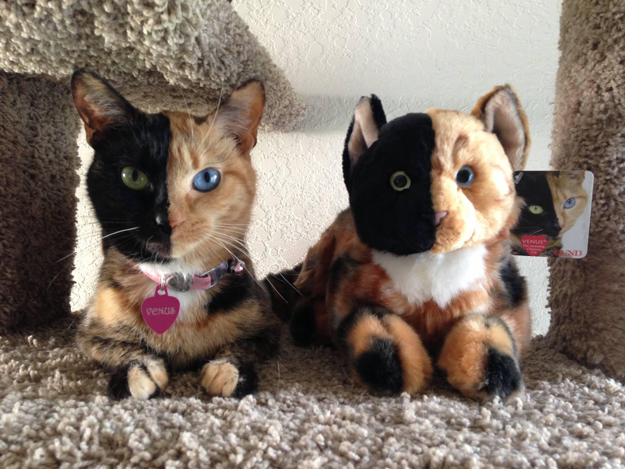 Venus The Chimera Cat (5)