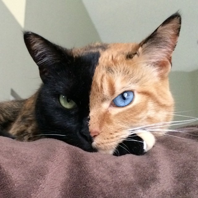 Venus The Chimera Cat (6)