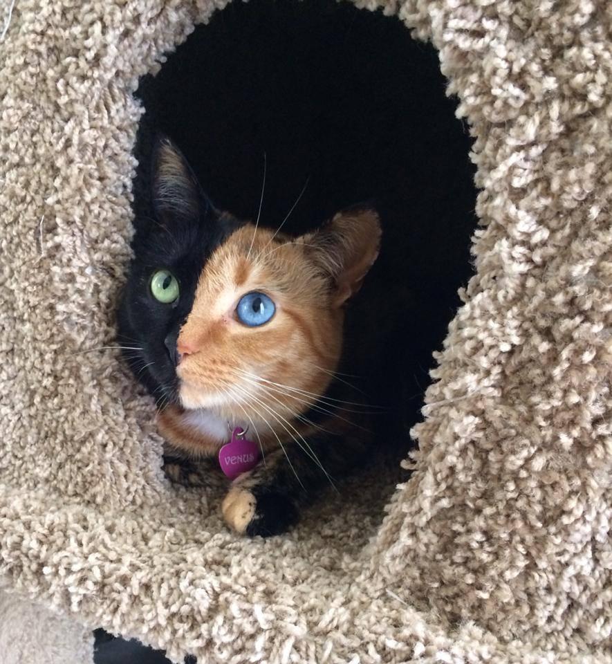 Venus The Chimera Cat (7)