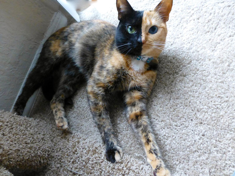 Venus The Chimera Cat (8)
