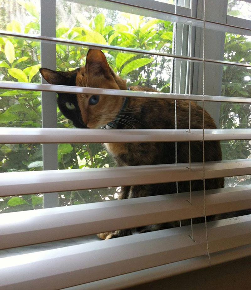 Venus The Chimera Cat (9)