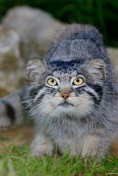 Pallas's Cat (10)