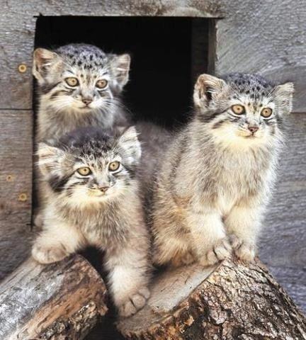 Pallas's Cat (11)