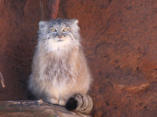 Pallas's Cat (13)