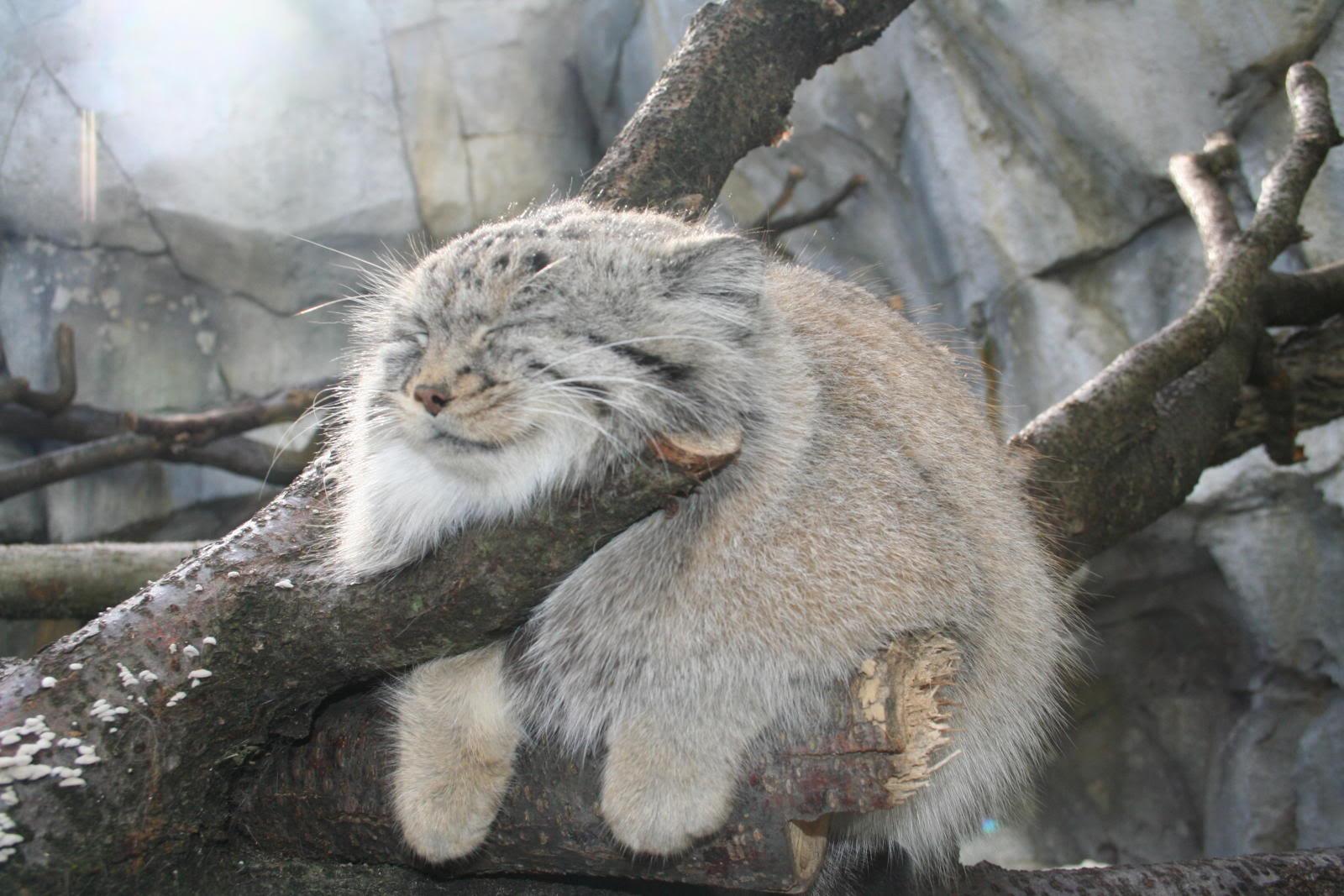 Pallas's Cat (14)